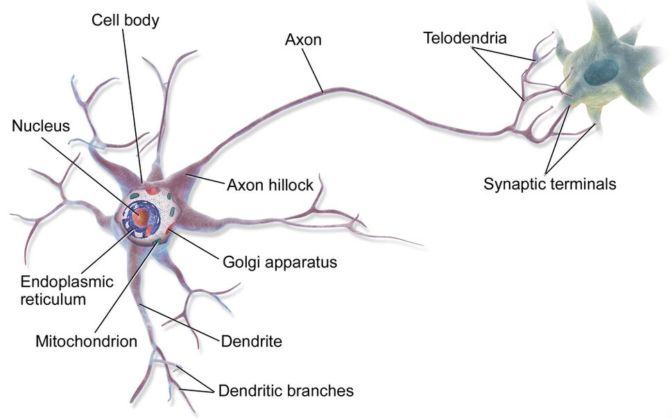 Anatomy of a multipolar neuron Image source: Wikipedia